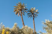 Palm Trees In Morocco