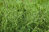 green oat field on summer day
