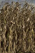 Autumnal view close up of maize field