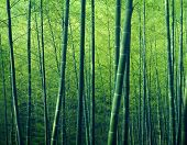 image of bamboo forest  - Bamboo Forest Trees Nature Concept - JPG
