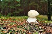 picture of boletus edulis  - Beautiful boletus edulis edible mushroom in the forest