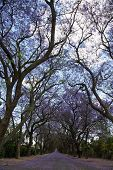 image of tree lined street  - Suburban road with line of jacaranda trees and small flowers making a carpet - JPG