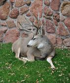 Regal Sleepy Mule Deer, 4-point Buck