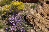 Purple Aster Wildflower