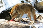 A Wolf enjoys eating a piece of fresh meat during the winter time