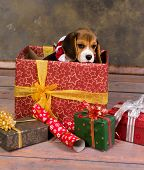 Seven weeks old adorable little beagle puppy in a christmas gift
