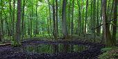 Summertime Alder Bog Forest