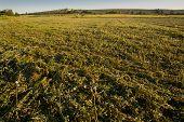 pic of alfalfa  - A view of an alfalfa field just cut Extremadura Spain - JPG
