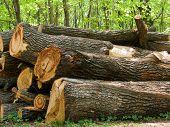 Trunk  Tree  Oak