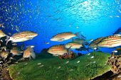 stock photo of red snapper  - Feeding frenzy as Chequered Snapper fish hunt - JPG