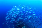 stock photo of school fish  - School Bigeye Trevally fish  - JPG