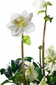 image of helleborus  - closeup of hellebore flowers and leaves on a white background - JPG