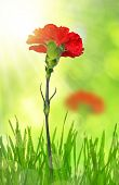 pic of carnation  - dewy red carnation in grass on green background - JPG
