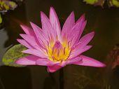 image of species  - The Pink Lotus species of beautiful flower  in Thailand - JPG