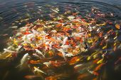 stock photo of fish pond  - beautiful koi fish swimming in the pond Colorful Koi - JPG