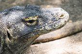 foto of komodo dragon  - Adult Komodo dragon close up Rinca Indonesia - JPG