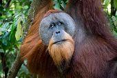 stock photo of orangutan  - Sumatran orangutan hanging in the trees - JPG