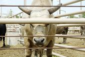 image of bull-riding  - Bull in a pen at a rodeo arena - JPG