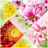 image of petunia  - Collage of blooming flowers. Gerberas chrysanthemums tulips and petunias. ** Note: Shallow depth of field - JPG