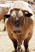 foto of brahma-bull  - Bull waiting for his turn in the rodeo arena - JPG