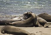 pic of sea lion  - Sea Lions on the beach along the Highway 1 from San Francisco to Los Angeles  - JPG