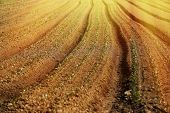 picture of cultivation  - Cultivated vegetable field on an organic farm glowing in morning sunshine - JPG