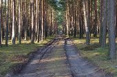 foto of penetration  - The photograph shows the tall pine forest which crosses the dirt - JPG