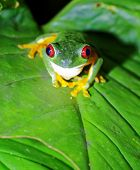 image of red eye tree frog  - Red Eyed Tree Frog sitting on a leaf, staring at the camera. Night. Manuel Antonio National Park, Costa Rica