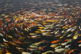picture of koi fish  - beautiful koi fish swimming in the pond Colorful Koi - JPG