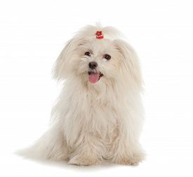stock photo of maltese  - White Maltese dog isolated on white background - JPG