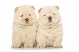 pic of chow-chow  - two cute chow - JPG