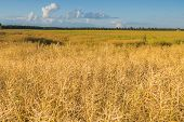 foto of rape-field  - Landscape of rape field at summer - JPG