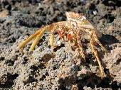 pic of crustations  - A dead crab shell clinging to the dead coral rock on Cuban beach - JPG
