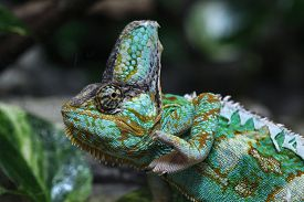 stock photo of chameleon  - Veiled chameleon  - JPG