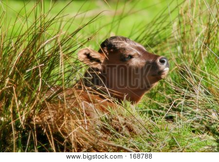 Picture or Photo of A cow lying down in a field.