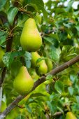 Juicy pears on tree