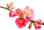pic of may-flower  - Spring flowering quince - JPG