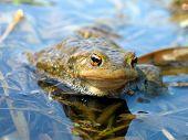 True toad