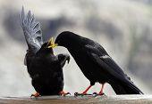 Two Blackbirds in Dolomiti - Italy - Europe