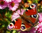 Beautiful european butterfly Inachis Io in autumn flower Aster Dumosus