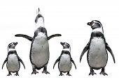 Penguins family