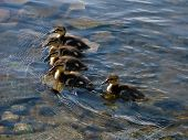 Little Young Ducklings