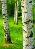 stock photo of birchwood  - Birch forest - JPG