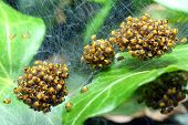 Rare photography. Nest of newborn Wasp Spiders (Argiope bruennichi) Macro with shallow DOF - spiders