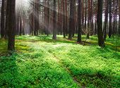 stock photo of early spring  - Early morning in a pine forest - JPG