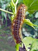 stock photo of green bean  - caterpillar on beans - JPG