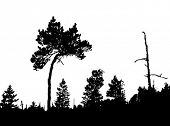 vector silhouette of the crooked pine in wood