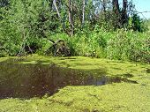 lake coated by duckweed