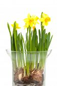 Yellow Daffodil Flower In Vase