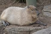 The Capybara Is The Largest Rodent And He Is Resting poster